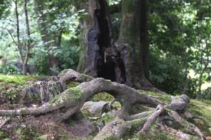 大木の根とコケとの素材 [FYI00404768]