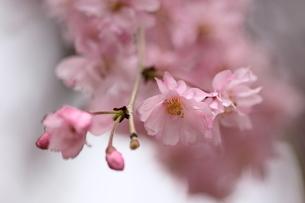 桜満開の写真素材 [FYI00404780]