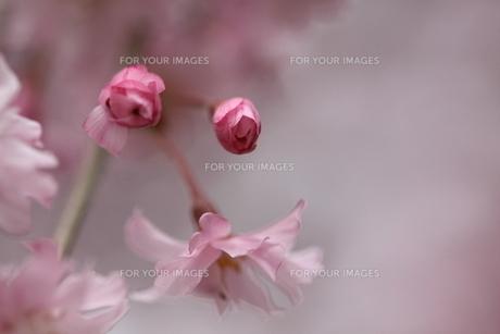 淡い桜の素材 [FYI00404783]