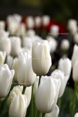 満開の白いチューリップの素材 [FYI00404817]