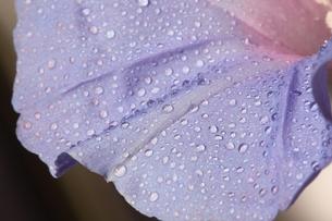 雨に咲く朝顔の素材 [FYI00404844]