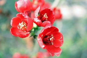 木瓜の花の素材 [FYI00404924]