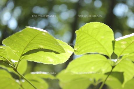 葉の透過光の素材 [FYI00405132]