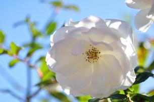 白い薔薇の写真素材 [FYI00405134]