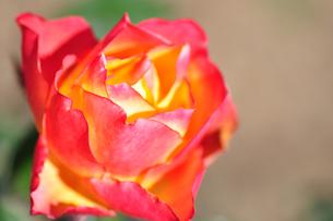 オレンジの薔薇の写真素材 [FYI00405150]