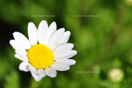 デイジーの花の写真素材 [FYI00405156]
