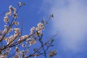 桜の写真素材 [FYI00405179]