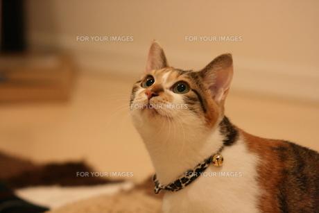 三毛猫の正面顔の写真素材 [FYI00405223]
