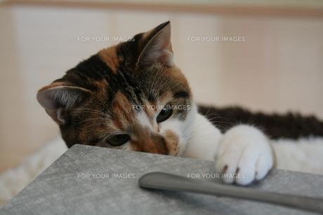 三毛猫 顔アップの写真素材 [FYI00405229]