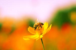 がんばるハチの写真素材 [FYI00405231]