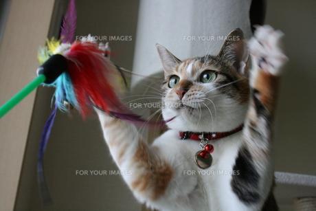 三毛猫と猫じゃらしの写真素材 [FYI00405236]