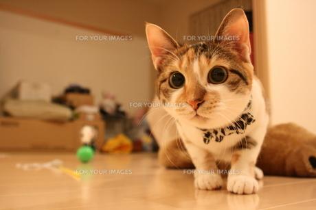 三毛猫の遊び顔の写真素材 [FYI00405239]