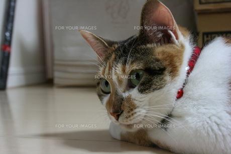 三毛猫の横顔アップの写真素材 [FYI00405240]