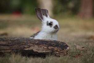 パンダウサギの写真素材 [FYI00405280]