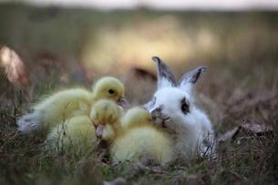 仲良しウサギとアヒルの子の写真素材 [FYI00405283]