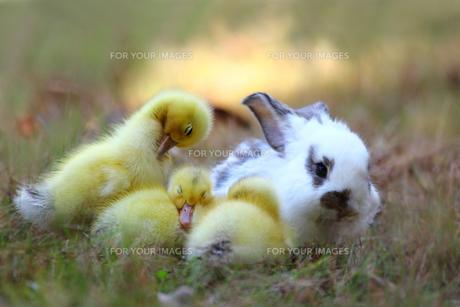 仲良しヒヨコと子ウサギの写真素材 [FYI00405297]