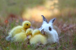 仲良しヒヨコと子ウサギの素材 [FYI00405302]