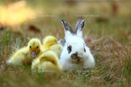 仲良しヒヨコと子ウサギの写真素材 [FYI00405317]