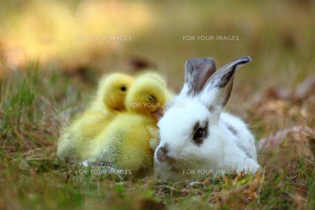 仲良しヒヨコと子ウサギの写真素材 [FYI00405318]