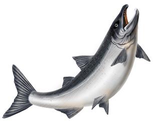 鮭の写真素材 [FYI00405387]