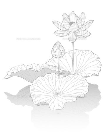 蓮の花の写真素材 [FYI00405928]