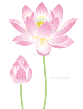 蓮の花の写真素材 [FYI00405929]