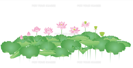 蓮の花の写真素材 [FYI00405931]
