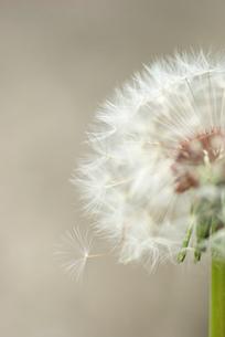 綿毛の旅立ちの写真素材 [FYI00405976]