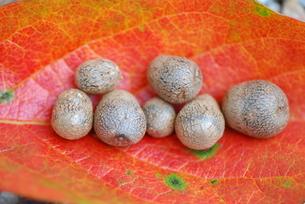 小さな秋 柿の葉とむかごの写真素材 [FYI00407116]