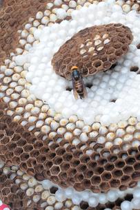 オオスズメバチ の巣に 女王蜂の写真素材 [FYI00407129]