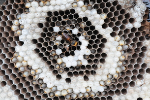 オオスズメバチ 女王蜂の写真素材 [FYI00407140]