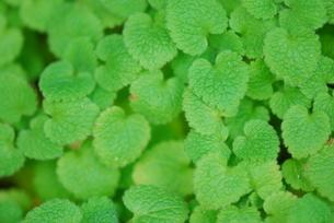 緑の小さい葉が一面の写真素材 [FYI00407141]