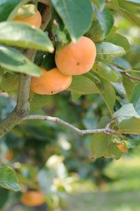 秋に実る柿の写真素材 [FYI00407151]