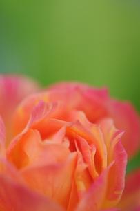 美しいバラの写真素材 [FYI00407160]