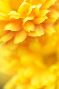 黄色い花の写真素材 [FYI00407167]