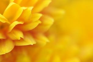 黄色い花の写真素材 [FYI00407172]