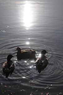 池で遊ぶ水鳥の写真素材 [FYI00407173]