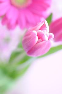 ピンクのチューリップの写真素材 [FYI00407228]