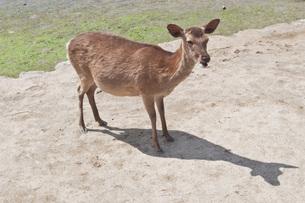 宮島の鹿の写真素材 [FYI00407262]