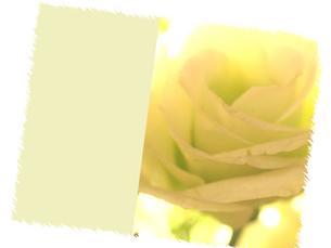 白いバラの素材 [FYI00407332]