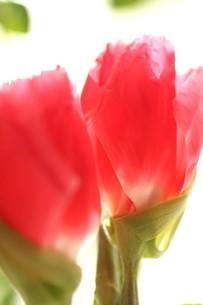 ピンクの素材 [FYI00407339]