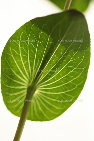 葉の素材 [FYI00407349]