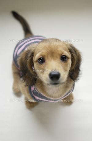 子犬の写真素材 [FYI00407358]