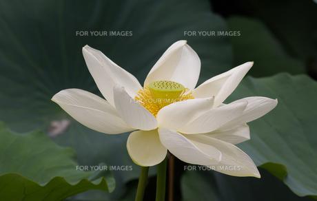 蓮の花の写真素材 [FYI00407416]