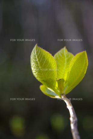 春の芽吹きの写真素材 [FYI00407429]