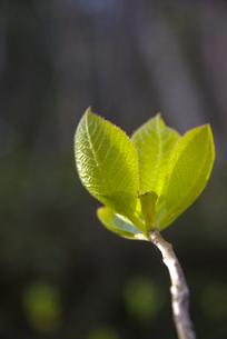 春の芽吹きの素材 [FYI00407429]