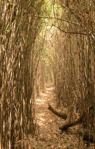 笹竹のトンネルの写真素材 [FYI00407459]