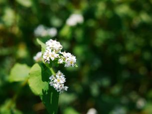 蕎麦の花1の写真素材 [FYI00407487]