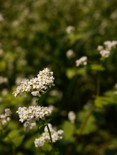 ソバの花2の写真素材 [FYI00407511]