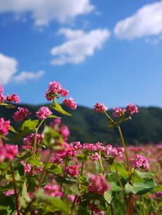 高峰ルビーの花2の写真素材 [FYI00407547]